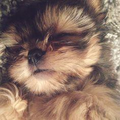Shorkie Puppy #Shorkie