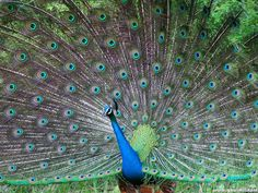 beauty in nature....peacock