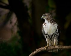 Red-Tailed Hawk | by cre8foru2009