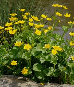 Caltha palustris - Populage des marais - Marsh Marigold or Cowslip