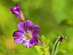 Little Flower by ManuelGuillenAbad. @go4fotos