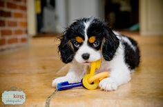 Milly the Cavalier King Charles Puppy playing - erin king photographer