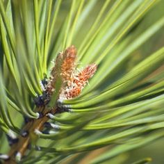 Fragrant pine needles have uses that range from decorative to medicinal.