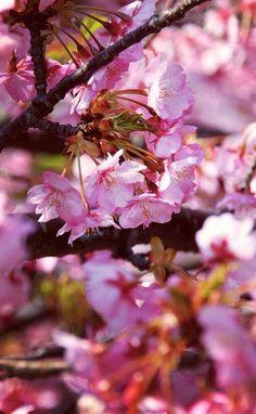 桜 Sakura Cherry Blossom Spring Is Here, Spring Time, Cherry Blossom Japan, Cherry Blossoms, Green Fields, Beautiful Mind, Brighten Your Day, Morning Images, Lush