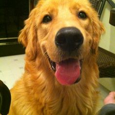 My Golden Retriever <3