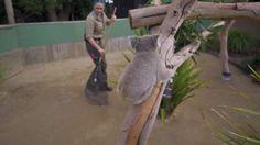 Vicious Koala attack. http://ift.tt/2rZ34A4