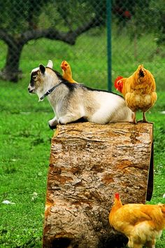 Goat with chickens
