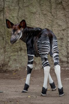 This female Okapi calf made her public debut last week at the San Diego Zoo. She stayed near her Mom much of the time but was still quite curious about her new surroundings. Learn more on Zooborns.com. http://www.zooborns.com/zooborns/2013/06/okapi-calf-shows-her-stripes-at-san-diego-zoo.html