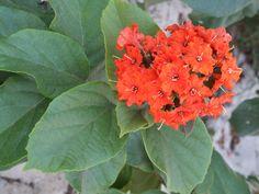 Cordia sebestena var. caymanensis