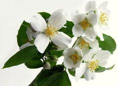 jasminum polyanthum (chinese jasmine)  EASIER TO GROW THAN Jasminum sambac (jasmine used in teas needs outdoor lights)