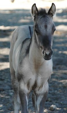 Photo Gallery - Shining C Grulla Horses