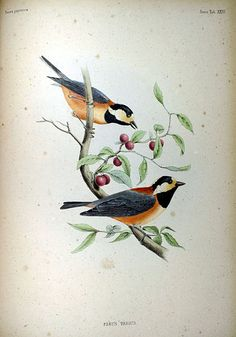 Varied Tits, from Fauna Japonica, Illustrations of the birds observed in Japan by Dutch travelers, Philipp Franz von Siebold, 1842.