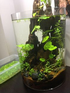 Ideas for a 4 gallon vase shrimp tank? - Page 2 - The Planted Tank Forum Planted Aquarium, Aquarium Garden, Mini Aquarium, Coral Aquarium, Fish Tank Terrarium, Aquarium Terrarium, Terrarium Plants, Vase Fish Tank, Best Fish For Aquaponics