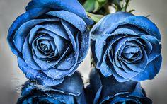Lataa kuva Sinisiä ruusuja, silmut sininen ruusuja, kaksi ruusua, sinisiä kukkia, ruusut