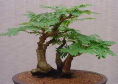 Bonzai_Tree_Stock_by_Enchantedgal_Stock-450x322.jpg (450×322)