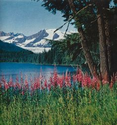 Fireweed lifts magenta spires along the shore of Auke Lake, Alaska  National Geographic | June 1956