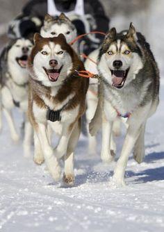 """Siberian Husky / Psie zaprzęgi proponowane są w wielu stacjach narciarskich jako lokalna atrakcja. Często taki przejazd można połączyć z noclegiem pod namiotem lub w """"bacówce""""."""