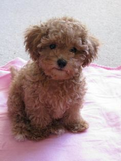 caramel maltipoo/maltese and poodle...shut up so cute