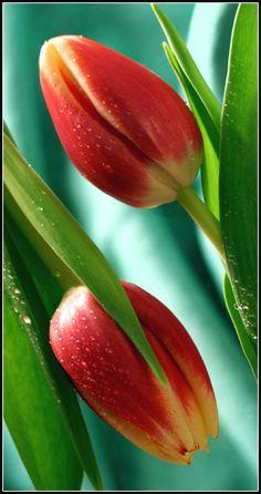 tulips by Elisabeth (yarnmagic)