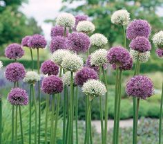The bright round globes of Allium add interesting shapes to your garden. White Flower Farm's 'Garden Globes' Allium collection includes three colors: white 'Mount Everest', lavender-blue 'Gladiator' and purple 'Stratos. Allium Flowers, Bulb Flowers, Daffodils, Dried Flowers, Beautiful Flowers, Love Flowers, Purple Flowers, Beautiful Pictures, American Meadows