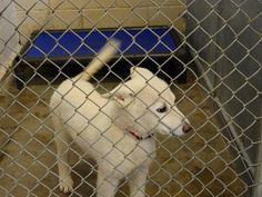 >>>>>>CODE RED! OUT BY 4-27<<<<<<rnrnCage 18 - HOWIErnImpound # 6698rnHusky Male, 1 MONTH White 11 LBSrnIntake 4-20-2017 | Out by 4-27-2017