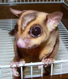 Sugar Glider Pictures - Part 4 Animals And Pets, Baby Animals, Cute Animals, Sugar Bears, Unusual Animals, Mammals, Reptiles, My Little Baby, Exotic Pets