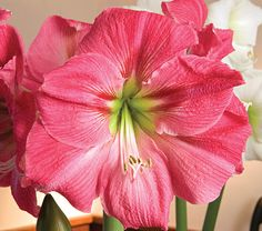 Amaryllis Candy Floss, bulb only - White Flower Farm