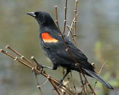 The Red-winged Blackbird (Agelaius phoeniceus) is a passerine bird of the family Icteridae found in most of North and much of Central America.
