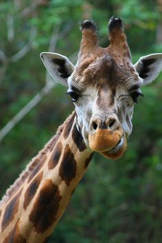 """500px / Photo """"close up of giraffe head"""" by Ismed Hasibuan"""
