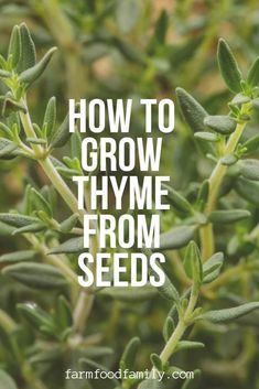 Growing Thyme from Seeds (Thymus vulgare, T. citriodorus, T. Thyme Plant, Thyme Herb, Container Plants, Container Gardening, Gardening For Beginners, Gardening Tips, Home Vegetable Garden, Herb Garden, Replant