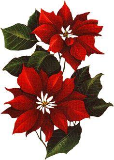flores de natal-vermelhas-tube
