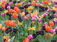 planting bulbs go for mass effect Spring Flowering Bulbs, Spring Bulbs, Planting Bulbs, Vegetables, Garden, Plants, Color, Garten, Lawn And Garden
