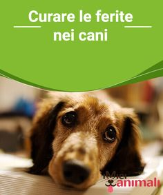 Curare le ferite nei cani Oggi vi insegneremo alcuni #trucchi per la cura delle #ferite nei #cani, per cui prestate attenzione. #Salute