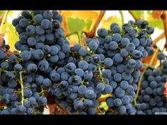 Ripeness in viticulture Infinity Wallpaper, Bird Gif, Fruit And Veg, Colorful Wallpaper, Cool Websites, Art Photography, Youtube, Wine Cellar, Tweety
