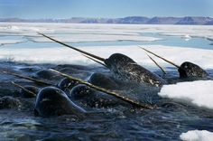 a fleet of sea unicorns, aka Narwals, Newfoundland, Canada (all the most magical things are found in Canada... and Hogwarts.)