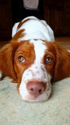 Eat your heart out...brought to you by: Ginger the Brittany Spaniel