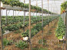 Выращивание земляники клубники в кокосовом субстрате методом малообъемной гидропоники.