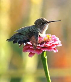 Hummingbird resting on top of a flower blossom. So cute.