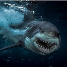 Here are the most beautiful pictures that can Shark Pictures, Shark Photos, Amazing Beasts, Cool Sharks, Shark Jaws, Foto Top, Underwater Creatures, Wild Creatures, Great White Shark