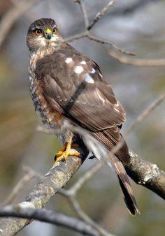 Sharp-Shinned Hawk .
