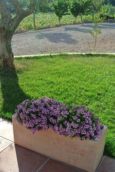 Geranis pensament, es mantenen florits tota la primavera i estiu. A la tardor els podem per que aguantin el fred de l'hivern a  http://masiacanpascol.com/