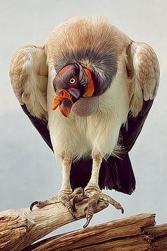 Urubu-rei ( Papa sacoramphus)