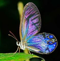 Cithaerial - Beautiful Iridescent Butterfly