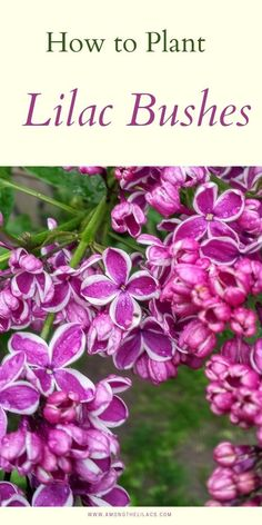 Learn when and how to water lilac bushes for best results! Plus learn how to water a lilac bush so you can help establish your shrub and get beautiful lilac flower blooms every Spring!