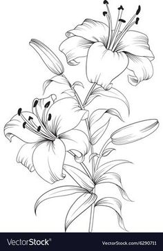Lilies Drawing, Flower Art Drawing, Flower Line Drawings, Flower Drawing Tutorials, Flower Sketches, Floral Drawing, Pencil Art Drawings, Art Drawings Sketches, Line Art Flowers