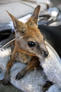 Frodo Baggins a tammar wallaby who survived after falling out of his mothers pouch. Well done little Frodo!