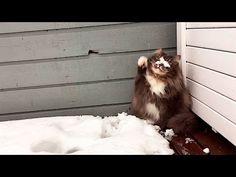 おまえ、おれ、あそぶ、そと。一緒に雪遊びがしたくて飼い主を何度も呼びに来る猫