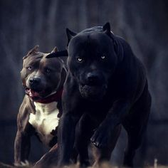 Check what new we have in store Love pitbulls Pitbull Terrier, Amstaff Terrier, Black Pitbull, Blue Nose Pitbull, Big Pitbull, Aussie Puppies, Dogs And Puppies, Big Dogs, Dog Breeds