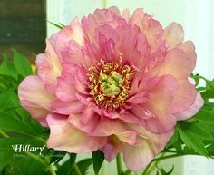 "Peony Hillary - Creamy red, semi-double, midseason, intersectional, 30"" tall. This striking flower fades to a cream while holding its darker center color."