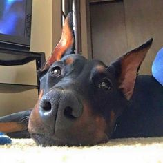 The Doberman Pinscher is among the most popular breed of dogs in the world. Known for its intelligence and loyalty, the Pinscher is both a police- favorite Pitbull Boxer, Pincher Dog, Animals And Pets, Cute Animals, Doberman Pinscher Puppy, Doberman Love, Puppy Pictures, Dogs And Puppies, Doggies